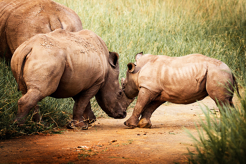 Rhino calves in play