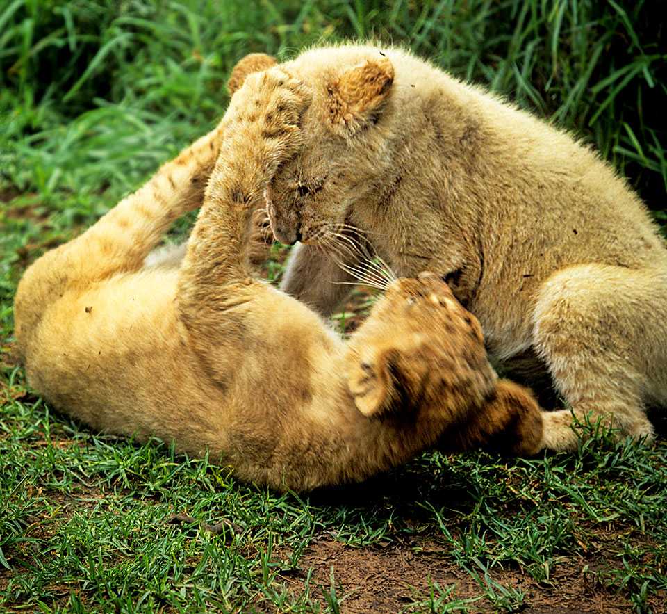 Lion cubs in play 2