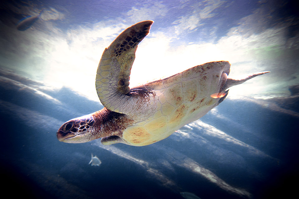 Flying Sea Turtle...